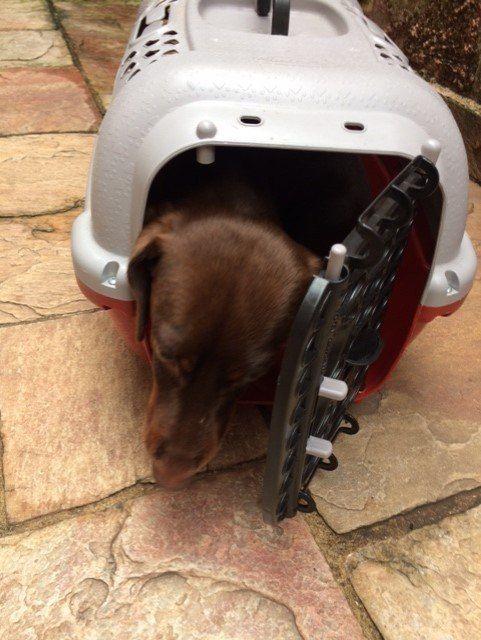 Cão deve viajar na caixinha - (Foto: R7)
